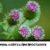 Корень лопуха при простатите: рецепт лечебного зелья